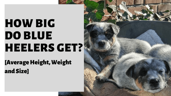 How Big Do Blue Heelers Get? [Average Height, Weight and Size]