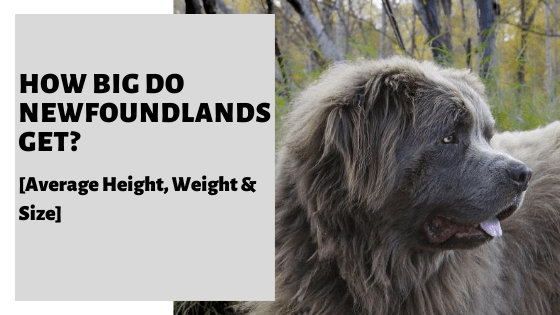 How Big Do Newfoundlands Get? [Average Height, Weight & Size]