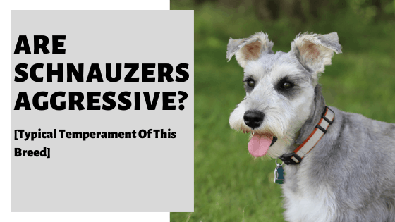 Are Schnauzers Aggressive? [Typical Temperament Of This Breed]