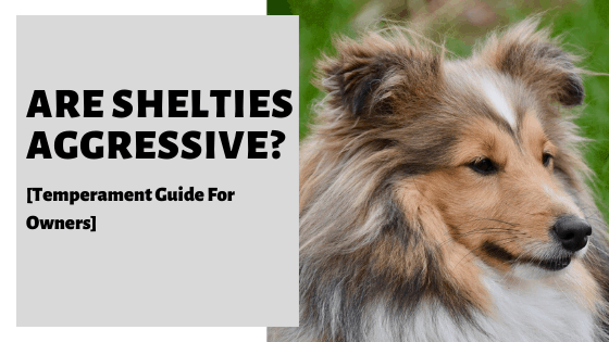 Are Shelties Aggressive? [Temperament Guide For Owners]