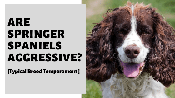 Are Springer Spaniels Aggressive? [Typical Breed Temperament ]