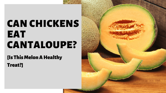 Can Chickens Eat Cantaloupe? [Is This Melon A Healthy Treat?]