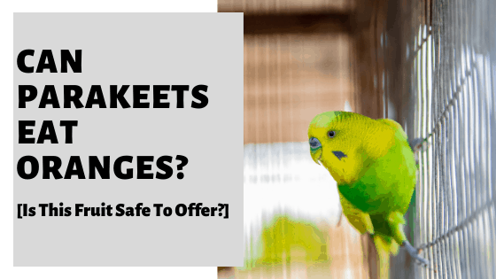 Can Parakeets Eat Oranges? [Is This Fruit Safe To Offer?]