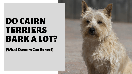 Do Cairn Terriers Bark A Lot? [What Owners Can Expect]