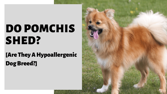 Do Pomchis Shed? [Are They A Hypoallergenic Dog Breed?]
