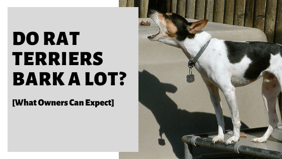Do Rat Terriers Bark A Lot? [What Owners Can Expect]