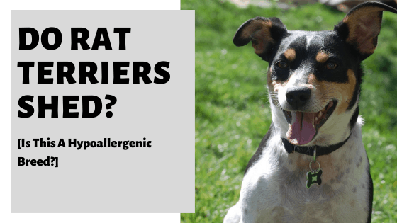 Do Rat Terriers Shed? [Is This A Hypoallergenic Breed?]