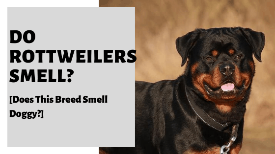 Do Rottweilers Smell? [Does This Breed Smell Doggy?]