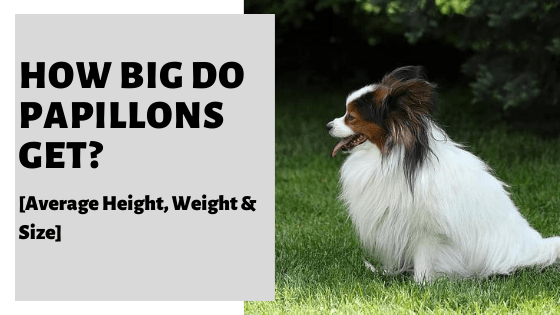 How Big Do Papillons Get? [Average Height, Weight & Size]