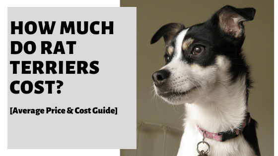 How Much Do Rat Terriers Cost? [Average Price & Cost Guide]