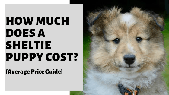 How Much Does A Sheltie Puppy Cost? [Average Price Guide]
