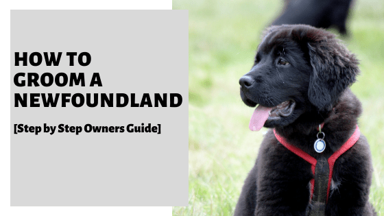 How To Groom A Newfoundland [Step by Step Owners Guide]