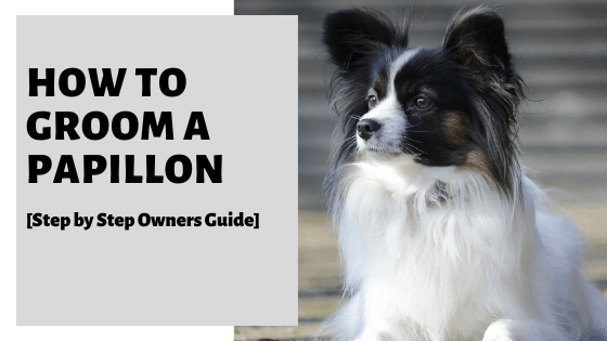 How To Groom A Papillon [Step by Step Owners Guide]