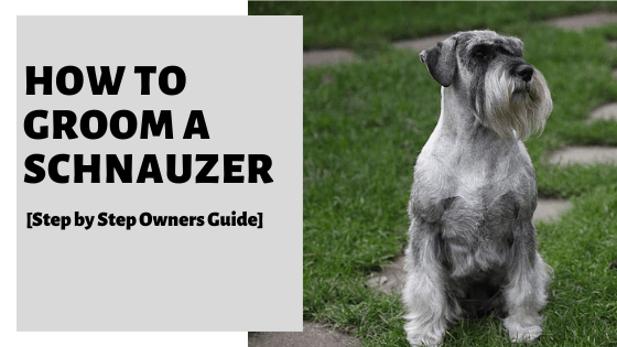 How To Groom A Schnauzer [Step by Step Owners Guide]