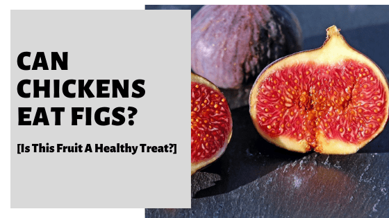 Can Chickens Eat Figs? [Is This Fruit A Healthy Treat?]