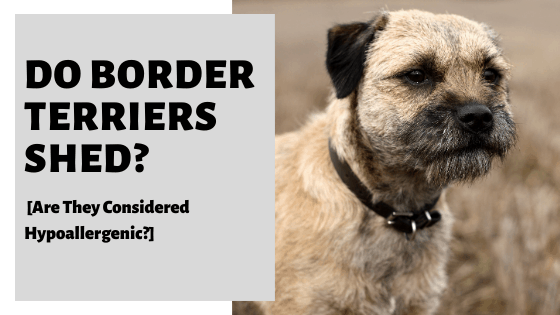 Do Border Terriers Shed? [Are They Considered Hypoallergenic?]