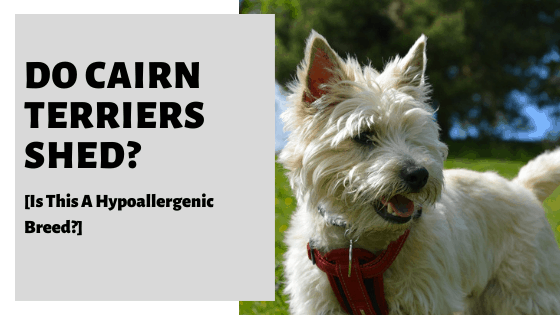 Do Cairn Terriers Shed? [Is This A Hypoallergenic Breed?]