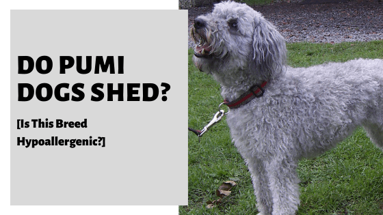 Do Pumi Dogs Shed? [Is This Breed Hypoallergenic?]