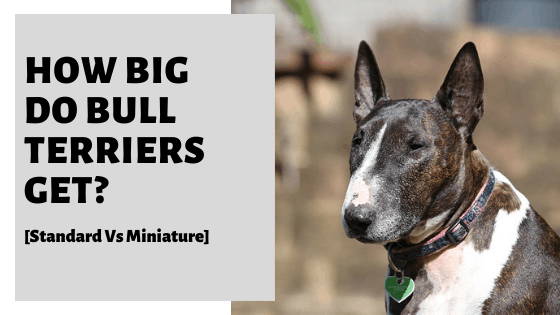 How Big Do Bull Terriers Get? [Standard Vs Miniature]
