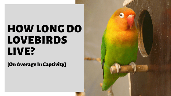 How Long Do Lovebirds Live? [On Average In Captivity]