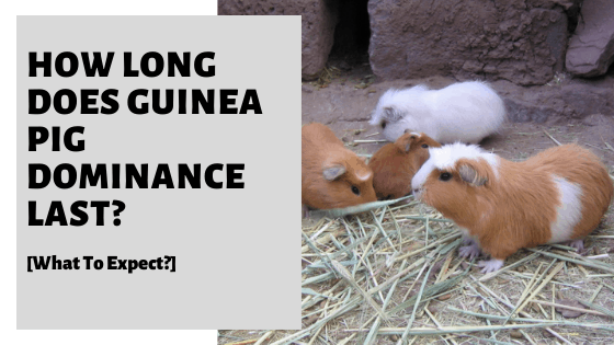 How Long Does Guinea Pig Dominance Last? [What To Expect?]