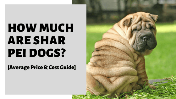 How Much Are Shar Pei Dogs? [Average Price & Cost Guide]