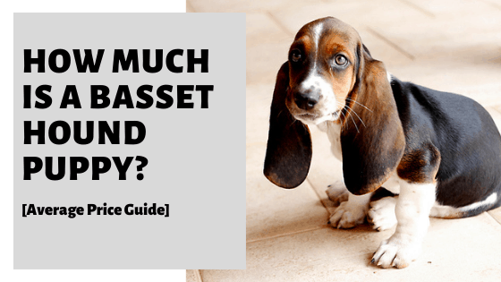 How Much Is A Basset Hound Puppy? [Average Price Guide]
