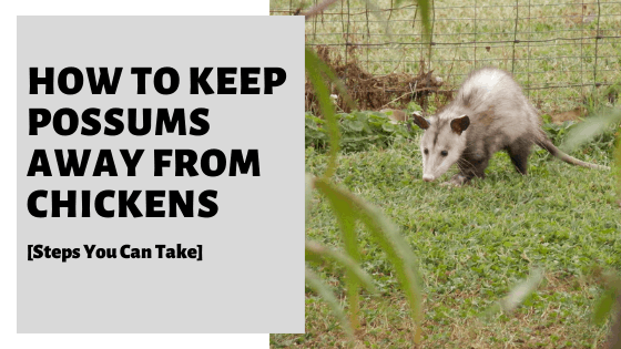 How To Keep Possums Away From Chickens [Steps You Can Take]