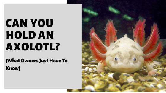 Can You Hold An Axolotl? [What Owners Just Have To Know]