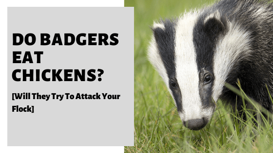 Do Badgers Eat Chickens? [Will They Try To Attack Your Flock]