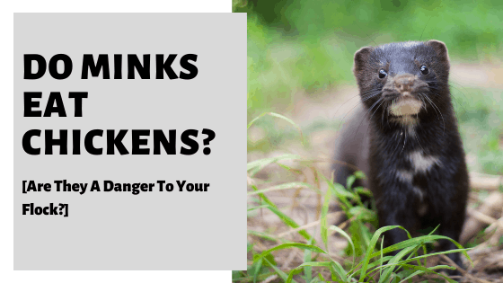 Do Minks Eat Chickens? [Are They A Danger To Your Flock?]