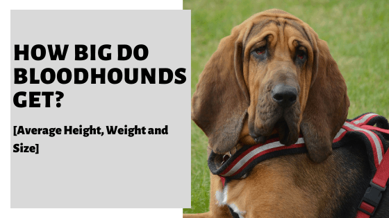 How Big Do Bloodhounds Get? [Average Height, Weight and Size]