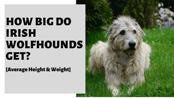 How Big Do Irish Wolfhounds Get? [Average Height & Weight]