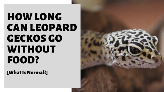 How Long Can Leopard Geckos Go Without Food [What Is Normal?]