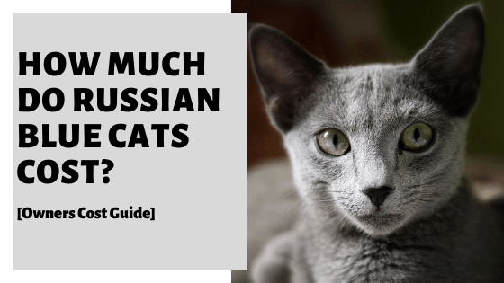 How Much Do Russian Blue Cats Cost? [Owners Cost Guide]