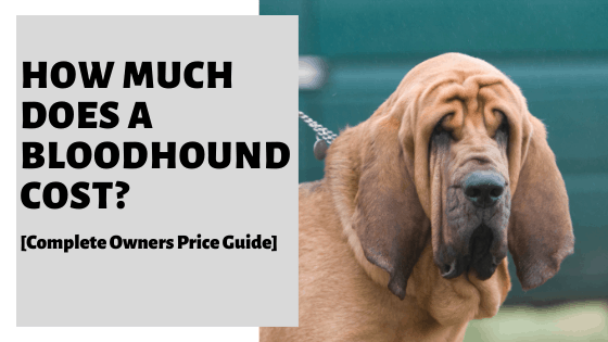 How Much Does A Bloodhound Cost? [Complete Owners Price Guide]