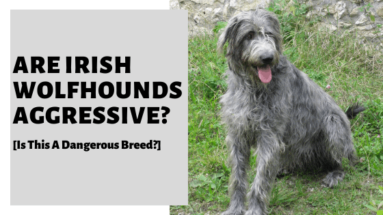 Are Irish Wolfhounds Aggressive? [Is This A Dangerous Breed?]