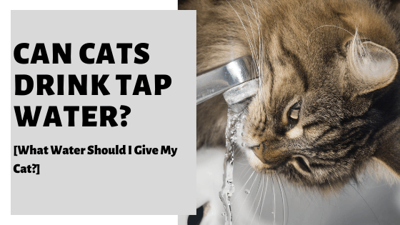 Can Cats Drink Tap Water? [What Water Should I Give My Cat?