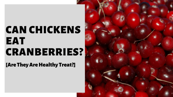 Can Chickens Eat Cranberries? [Are They Are Healthy Treat?]