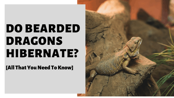 Do Bearded Dragons Hibernate? [All That You Need To Know]