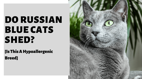 Do Russian Blue Cats Shed? [Is This A Hypoallergenic Breed]