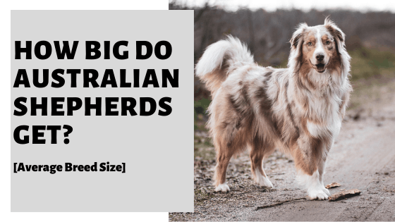 How Big Do Australian Shepherds Get? [Average Breed Size]