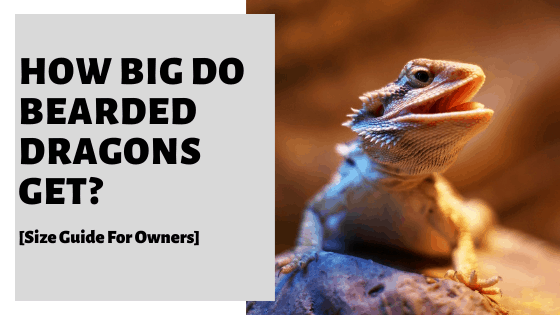 How Big Do Bearded Dragons Get? [Size Guide For Owners]