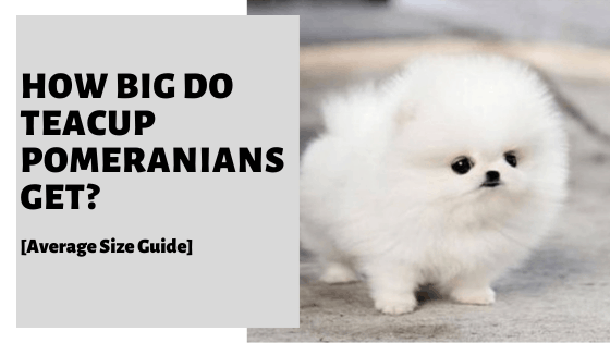 How Big Do Teacup Pomeranians Get? [Average Size Guide]