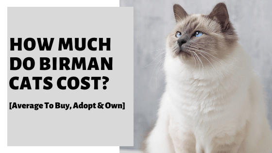 How Much Do Birman Cats Cost? [Average To Buy, Adopt & Own]