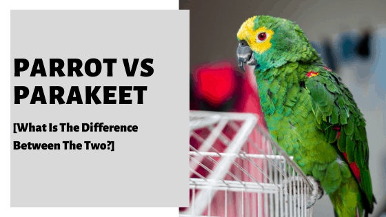 Parrot vs Parakeet [What Is The Difference Between The Two?]