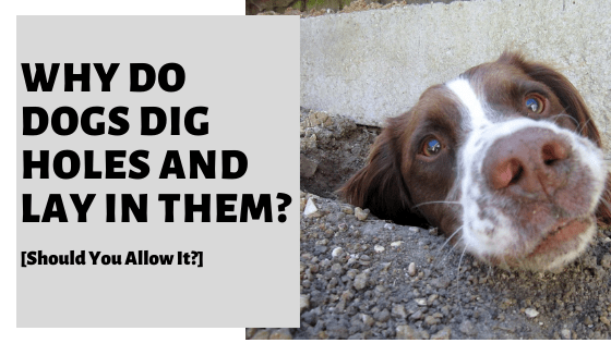 Why Do Dogs Dig Holes And Lay In Them? [Should You Allow It?]
