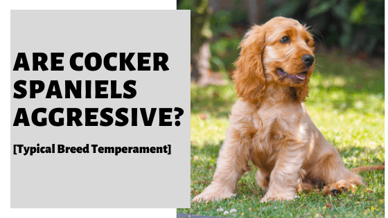Are Cocker Spaniels Aggressive? [Typical Breed Temperament]