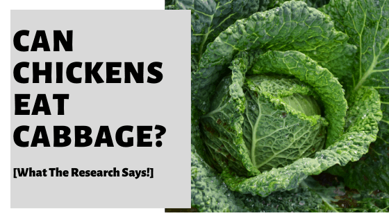Can Chickens Eat Cabbage? [What The Research Says!]
