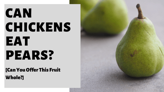 Can Chickens Eat Pears? [Can You Offer This Fruit Whole?]